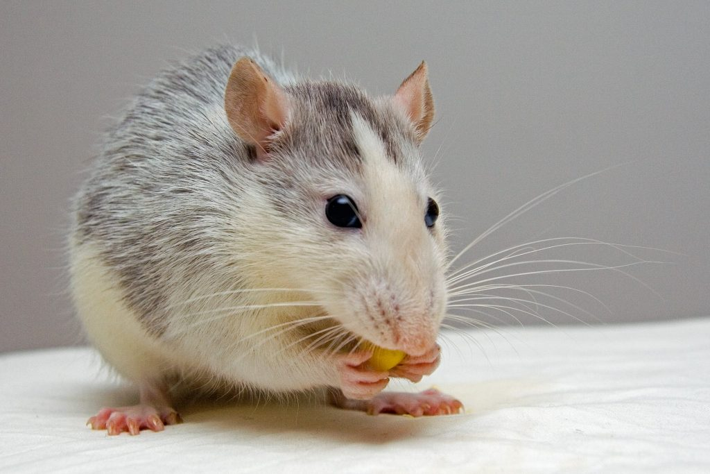 Ruthless Rodents: 4 Things That Attract Rats & Mice to Your Home